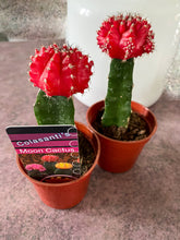 Upload the image to the gallery, Cactus graft