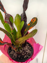 Upload image to gallery, Croton