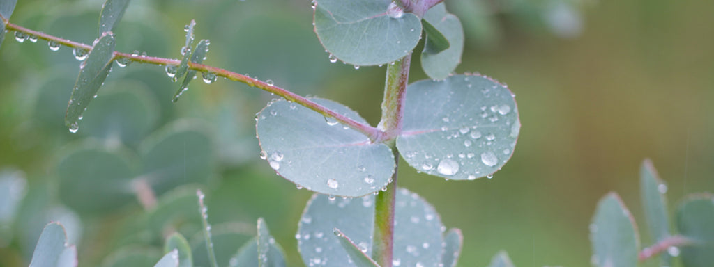 A close up photograph Eucalyptus Leaves with water droplets on them