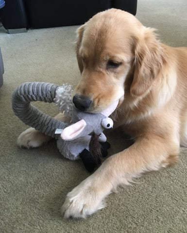 Golden retriever with a toy