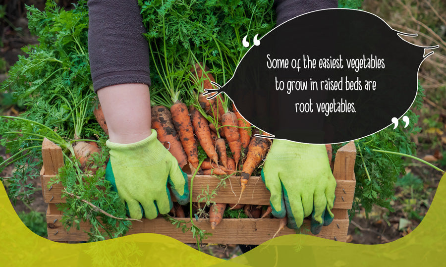 Gardener with uprooted carrots in garden