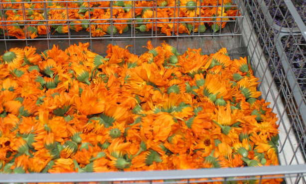 calendula flowers drying Grateful Body organic skin care