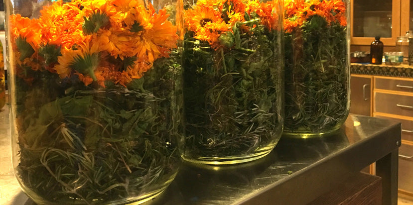 calendula flowers and herbs in tincture jars