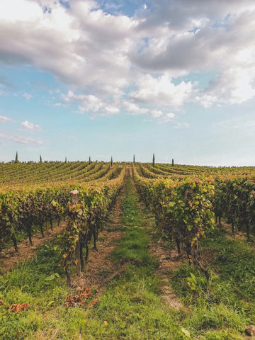 Planted vineyard like a research field for copywriting