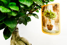 Load image into Gallery viewer, Bonsai di Ficus Polo - Flowers Palermo