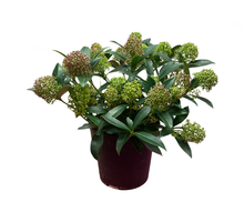 Load image into Gallery viewer, Skimmia - Flowers Palermo