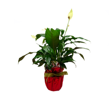 Charger l'image dans la galerie, Spathiphyllum Candy - Flowers Palermo