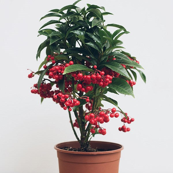 Ardisia Dolly - Flowers Palermo