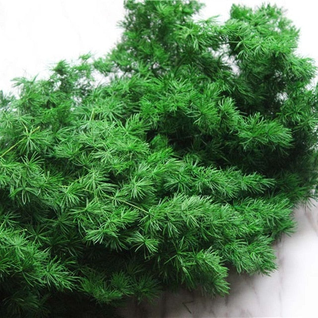 Naturally Preserved Penglai Pine Plant or Asparagus Myriocladus