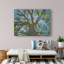 Load image into Gallery viewer, Monkeypod Tree, Sprawling Branches, Moanalua Gardens, Oahu, Hawaii, Metal Art Print, Living Room Interior, Image