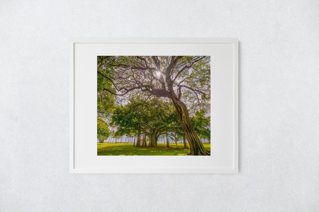 Kiawe Tree, Sunburst, Banyan Tree, Grass, Park, Waikiki, Oahu, Hawaii, Matted Photo Print, Image