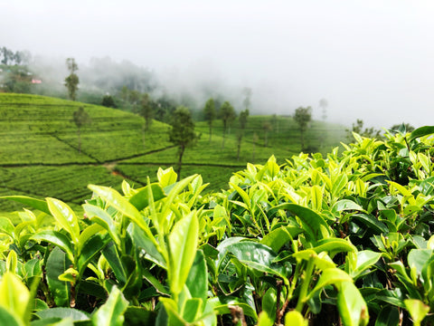 Green tea helps in fighting Oesophageal cancer