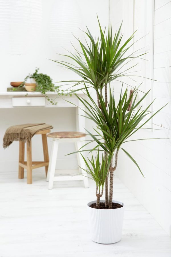 Dracaena Marginata - Dragon Tree