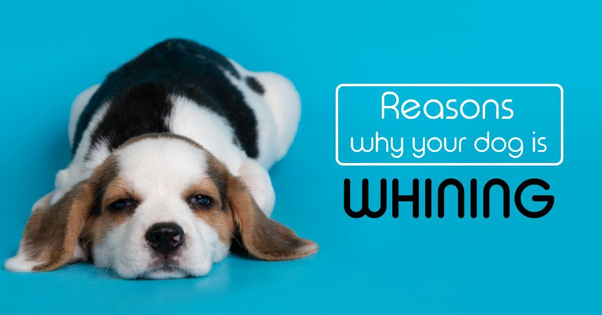 Reasons why your dog is whining
