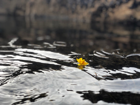 A dandelion floating in the waters of a Tidal Pool
