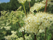 Load image into Gallery viewer, Meadowsweet Herb Extract