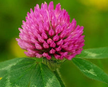 Load image into Gallery viewer, Red Clover Blossom Extract