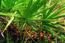 Load image into Gallery viewer, Saw Palmetto Berry Extract