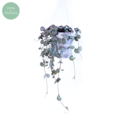 Ceropegia Woodii | String of Hearts | 11cm in hanging pot