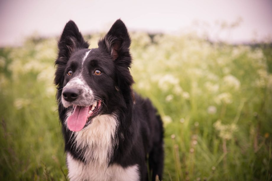 Smiling Border Collie in a field