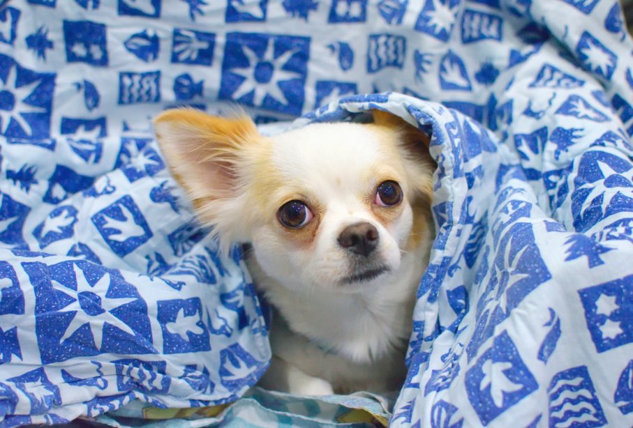 White Chihuahua cuddling in a blue and white blanket