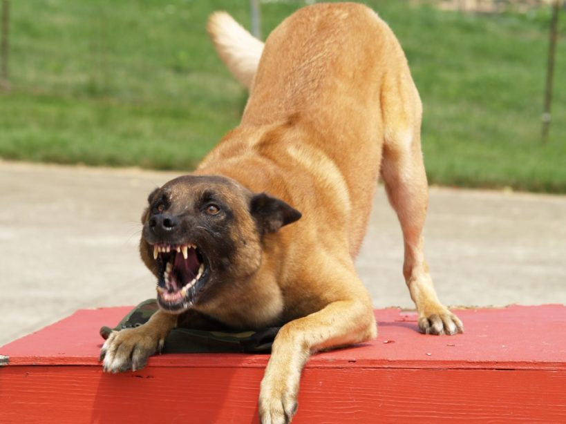 Angry snarling dog in a bowed position