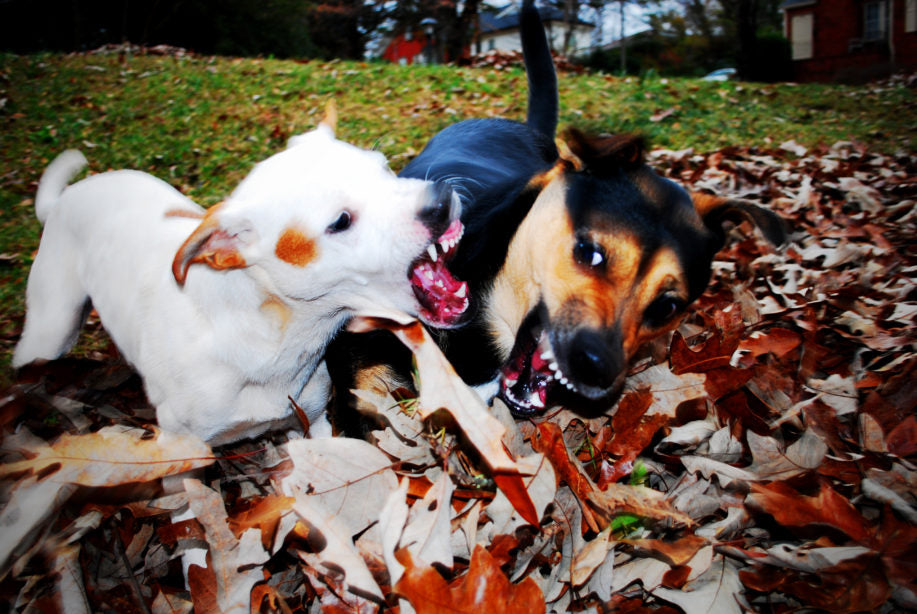 Two dogs fighting in a pile of leaves