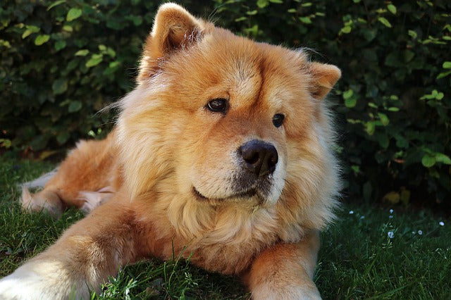 Chow Chow laying in the grass.