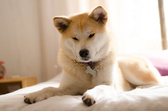 Akita laying on a bed