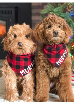 Dog wearing a buffalo plaid neckerchief embroidered with the name Murphy standing beside its Cuddle Clones likeness.