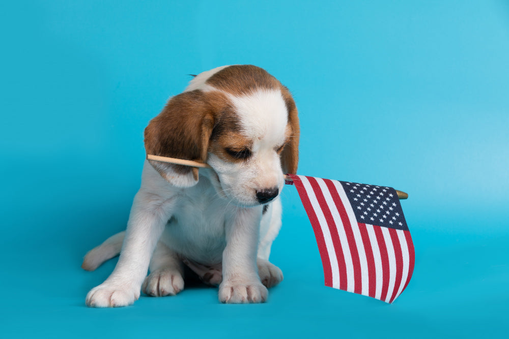Beagle puppy with a small American flag in its mouth.