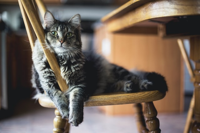 Fluffy gray cat sitting on a chair