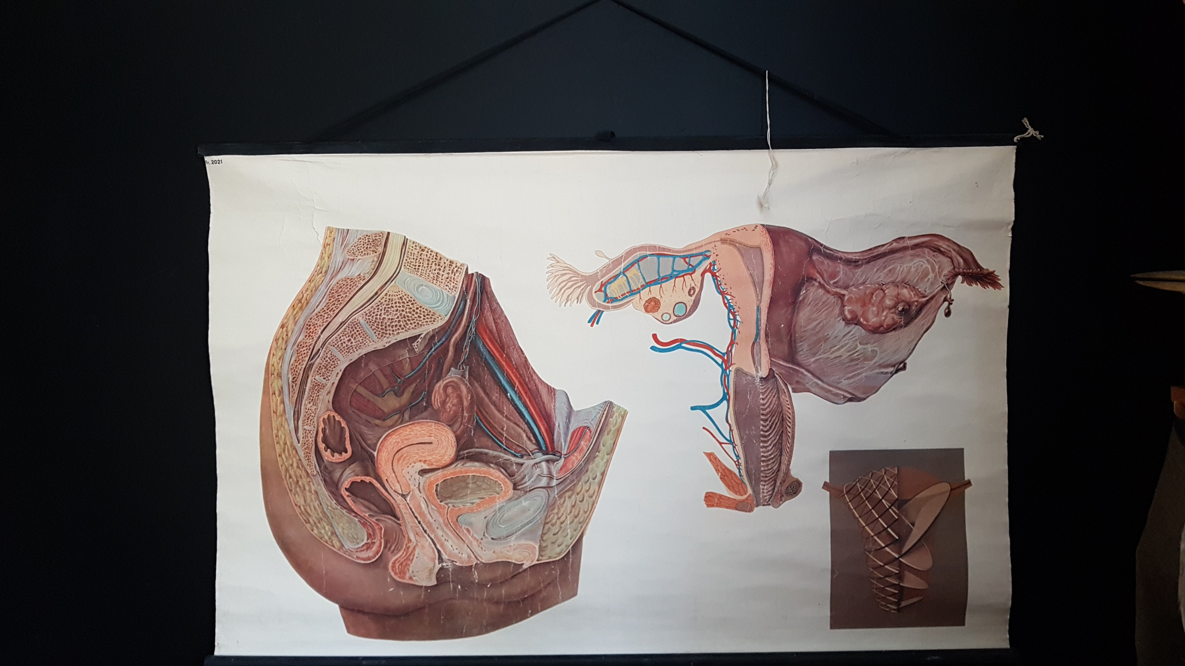 Vintage French educational poster Genitals biology anatomy by Jeulin