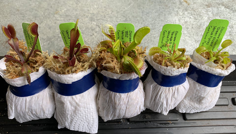Our Flytraps (Bare-root) ready to be bagged, packed, and delivered to you.