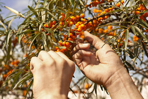 A Brief Introduction to Sea Buckthorn