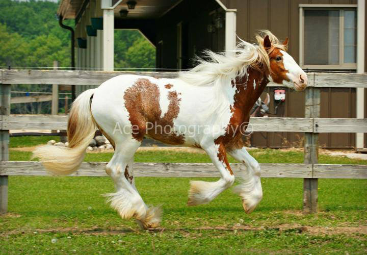 Beautiful Horse Running Shampoo