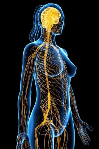 Computer generated image of a woman's parasympathetic and sympathetic nervous system