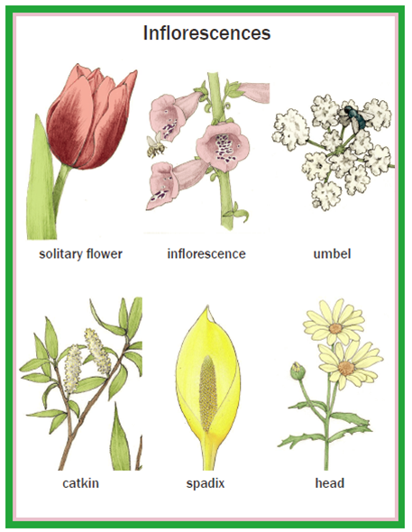 Illustrated Botany for Children - Flowers
