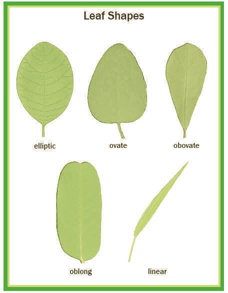 Illustrated Botany for Children - Leaves