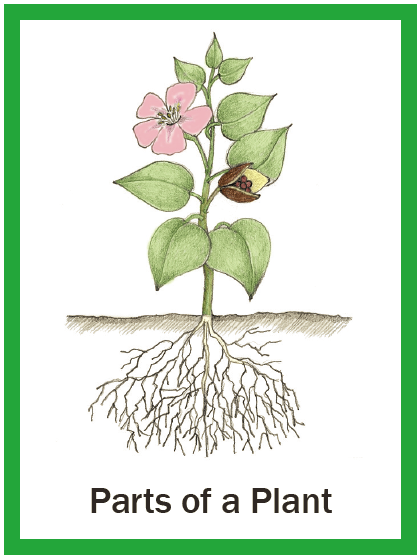 Illustrated Botany for Children - the whole plant