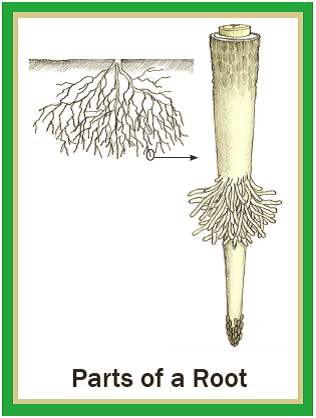 Illustrated Botany for Children - Roots