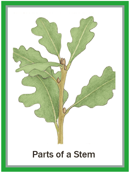 Illustrated Botany for Children - Stems