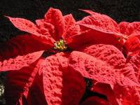 The Story of Poinsettias