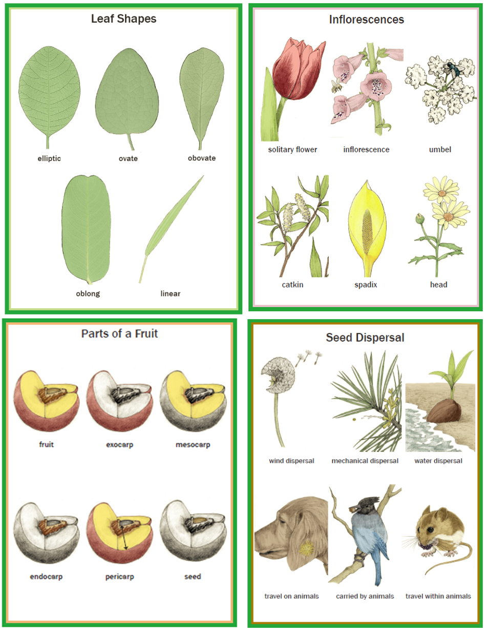 Illustrated Botany for Children - Wall charts only