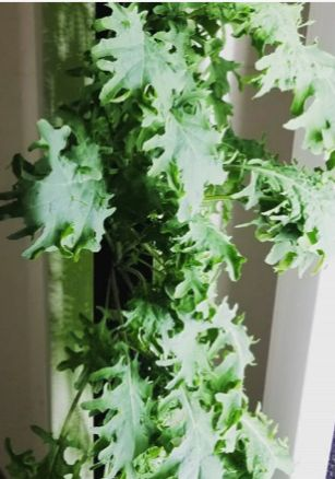 Red Russian Kale (2 plant pack)