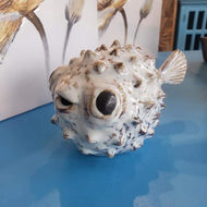 Small Spike puffer fish