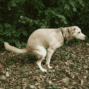 Why do dogs circle before they poop and pee? A dog pooping.
