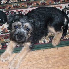 Blue and tan border Terrier puppy lying on rug
