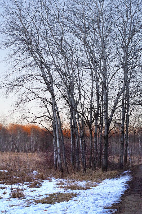 Stand of Birch trees, late winter