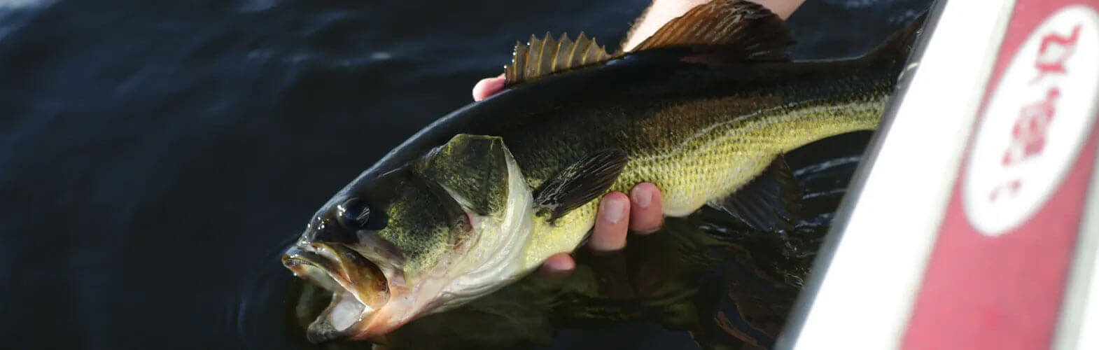 release of a largemouth bass